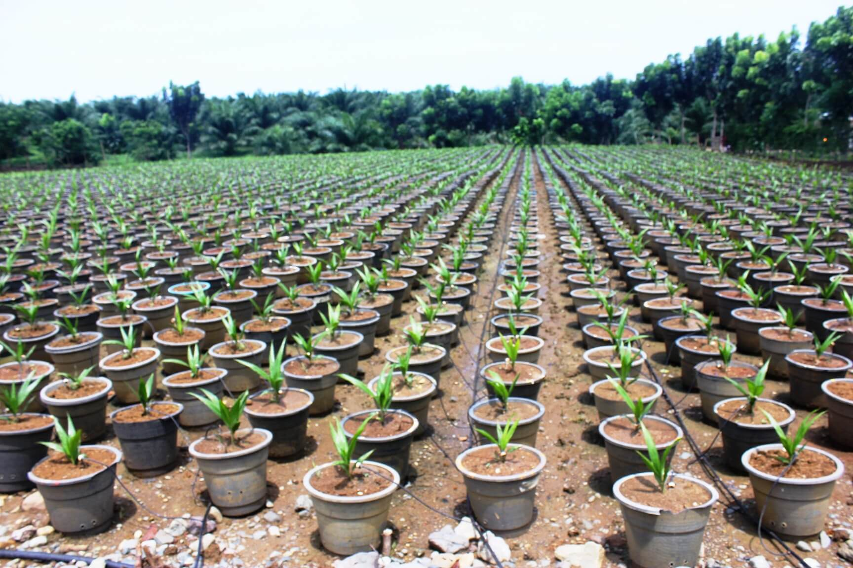 PPVOMI oil palm nursery in Maasin, Municipality of Brooke's Point