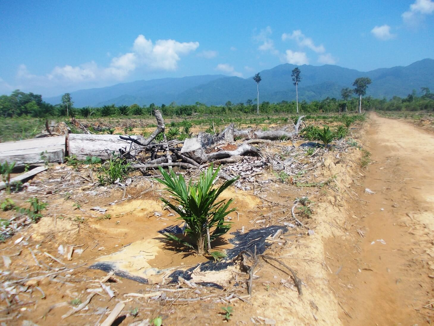 Massive forest clearing for oil palm plantations in Sandoval, Municipality of Bataraza