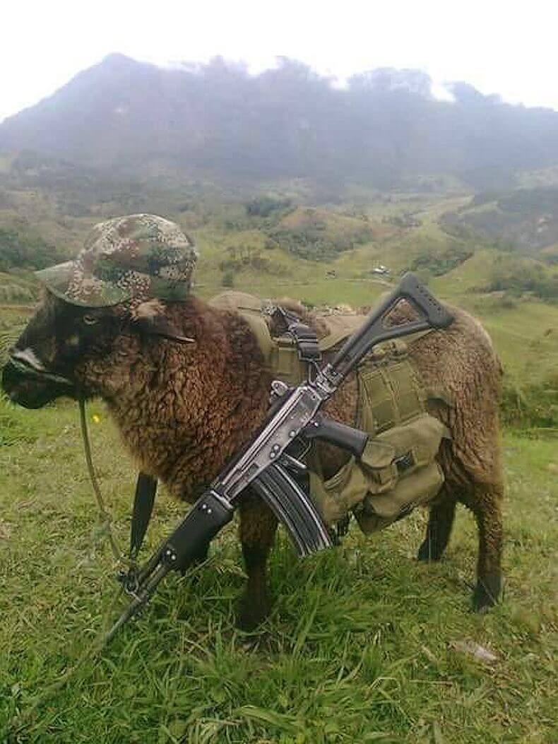"""The U'wa were sent a photo of a sheep in military gear and carrying a rifle, implying that they are associated with the guerrilla. These are very serious accusations, providing a political rationale for violent paramilitary repression against the U'wa"" - said Andrew Miller, Director of Advocacy at Amazon Watch. Photo: unknown"