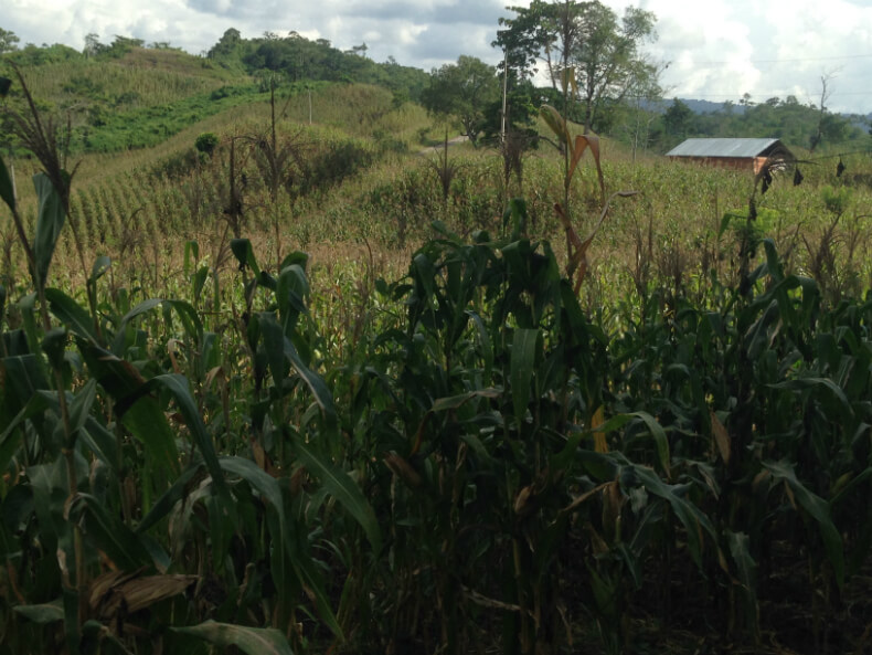 Corn is one of the main crops planted across Copones land. Photo: Manuela Picq